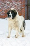 Pyrenean Mastiff Stock Photography