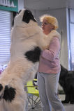 Pyrenean Mastiff Royalty Free Stock Image