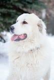 Pyrenean mastiff på i vinter royaltyfri foto