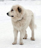 Pyrenean Mastiff Royalty Free Stock Photo