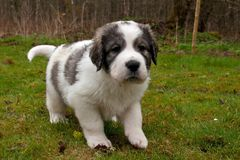 Pyrenean mastiff puppy 5 weeks royalty free stock photo
