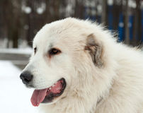 Pyrenean Mastiff on   street Royalty Free Stock Photography