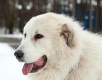 Pyrenean Mastiff on   street Royalty Free Stock Photography