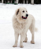 Pyrenean Mastiff  in winter day. Stock Images