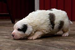 Pyrenean mastiffpuppy 3 weken stock afbeelding