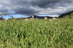 Pyrenean meadow and dandelions in spring, Aude in France Royalty Free Stock Image