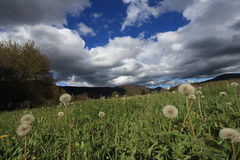 Pyrenean meadow and dandelions in spring, Aude in France Stock Photo