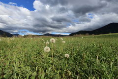 Pyrenean meadow and dandelions in spring, Aude in France Royalty Free Stock Images