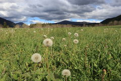 Pyrenean meadow and dandelions in spring, Aude in France Stock Photography