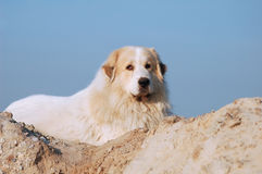 Pyrenean mountain dog Stock Photography