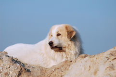 Pyrenean mountain dog Stock Photos