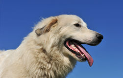 Pyrenean mountain dog Royalty Free Stock Photos