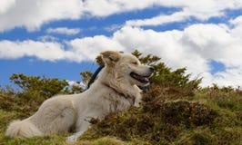 Pyrenean Mountain Dog stock photography