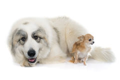 Pyrenean Mountain Dog and chihuahua Stock Photo