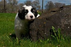 Pyrenean mastiff puppy 5 weeks. The Pyrenean Mountain Dog, known as the Great Pyrenees ... which is a Spanish shepherd dog. The puppy is 5 weeks Royalty Free Stock Image