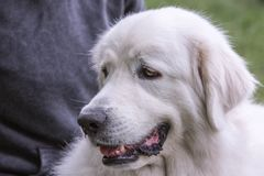 Pyrenean Mountain Dog living in belgium stock photo