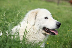 Pyrenean Mountain Dog lying in the grass Stock Image