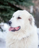 Pyrenean mountain dog Royalty Free Stock Images