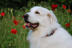 Pyrenean mountain dog Stock Image