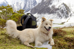 Pyrenean Mountain Dog, snow background royalty free stock photos