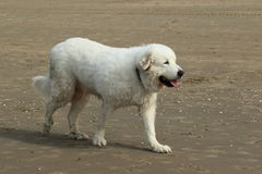 Pyrenean Mountain Dog Royalty Free Stock Image