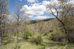 Pyrenean oak forest Royalty Free Stock Photography