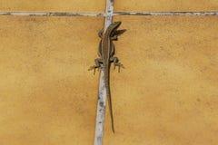 Pyrenean rock lizard (Iberolacerta bonnali) Royalty Free Stock Images
