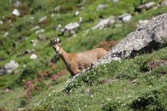 Pyrenean Sämischleder Stockbilder