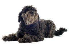 Pyrenean sheepdog стоковые фото