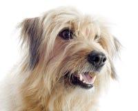 Pyrenean sheepdog royaltyfri bild