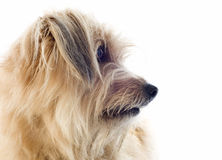 Pyrenean sheepdog Royalty Free Stock Images