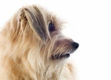 Pyrenean sheepdog royaltyfria bilder