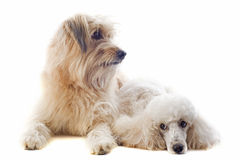 Pyrenean sheepdog and poodle Stock Image