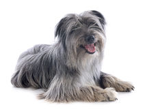 Pyrenean sheepdog Stock Photos