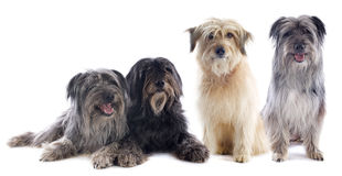 Pyrenean sheepdogs Royalty Free Stock Photos