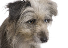 Pyrenean Shepherd (1 year) Stock Images