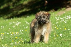 Pyrenean shepherd Stock Photo