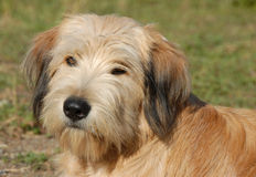 Pyrenean shepherd Stock Photos