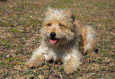 Pyrenean shepherd Royalty Free Stock Images