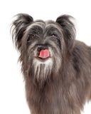 Pyrenean Shepherd Dog Licking Its Lips Royalty Free Stock Photo