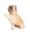 Pyrenean Shepherd Dog Offering Paw stock images