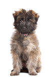 Pyrenean Shepherd puppy Stock Images