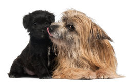 Pyrenean Shepherd and puppy licking, 3 years old Royalty Free Stock Image