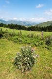 Pyrenean tistel Royaltyfria Bilder