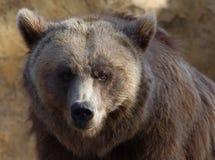 pyrenees brunbjörn Arkivbild