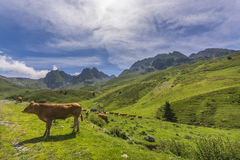 Pyrenees cow Royalty Free Stock Images