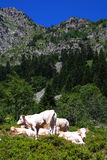 Pyrenees Cows Royalty Free Stock Photography