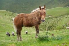 Pyrenees's pony Stock Image