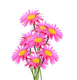 Pyrethrum Royalty Free Stock Photos