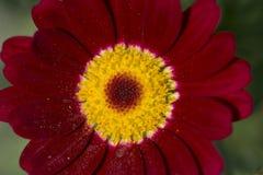 Pyrethrum Daisy Royalty Free Stock Photos